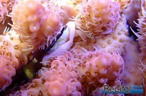 Newsletter recifalnews crabe symbiotique