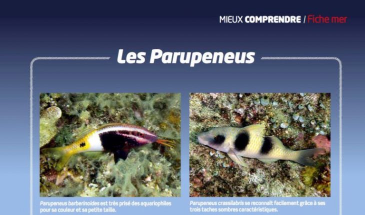 Aquarium la maison 123 les parupeneus poissons for Aquarium a la maison