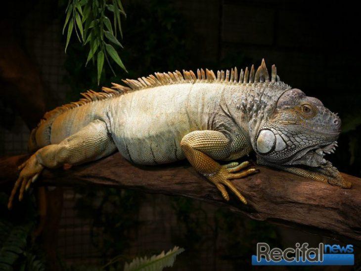 Aquavictoire Menin iguane