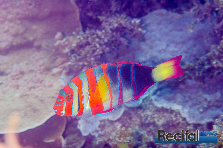 Choerodon-fasciatus-12.jpg