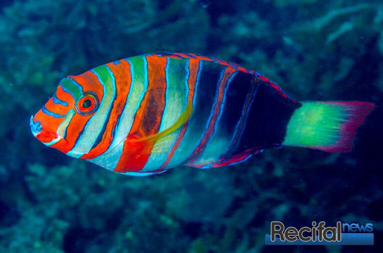 Choerodon-fasciatus-2-2.jpg