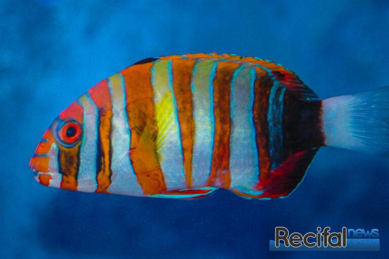 Choerodon-fasciatus-4.jpg