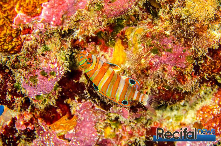 Choerodon-fasciatus-6.jpg