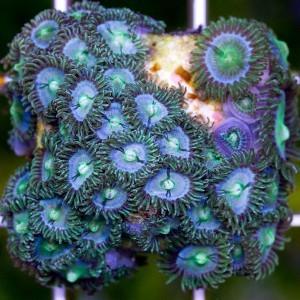 zoanthus_sp_florida_vice_zoa.jpg