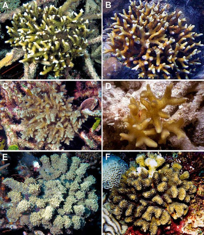 Stony-corals-mimicry.jpg