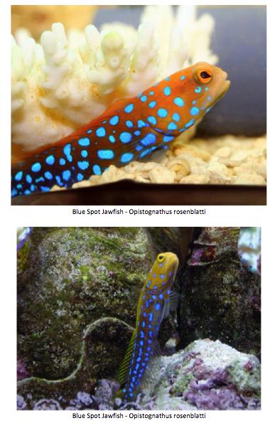 nano-aquarium-albert-thiel-jawfish-img02.png