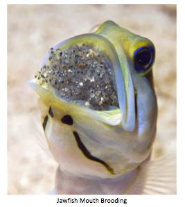 nano-aquarium-albert-thiel-jawfish-img03.png
