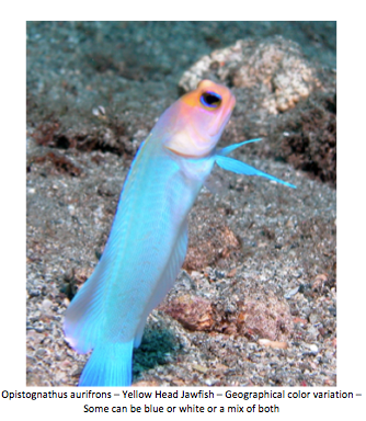 nano-aquarium-albert-thiel-jawfish-img04.png